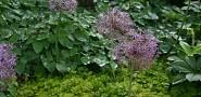 Allium christophii, Lysimachia and Epimedium.  Photo by Erica Glasener.