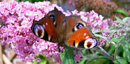 Photo of a butterfly landing on a lilac bloom by Zitrussa/sxc.hu.