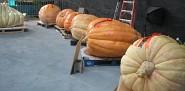 Giant pumpkins at the National Heirloom Expo. --Jordan