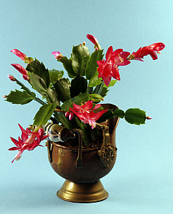 This Christmas cactus looks gorgeous in an antique copper pot. (Photo: spider56/