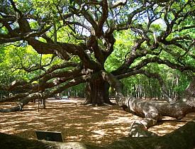 The Angel Oak Tree is a legendary oak tree in John's Island, SC. Photo by Charleston's TheDigitel/Flickr.