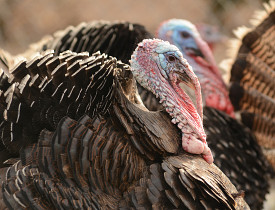 Get a load of the snoods on these wild turkeys! (Photo: yousif waleed/sxc.hu)