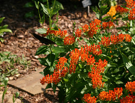 Asclepias tuberosa. Photo: Erica Glasener