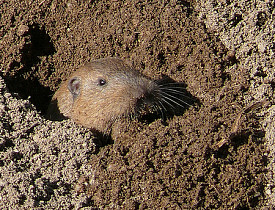 A gopher emerges from his hole. (Photo: goingslo/Flickr)
