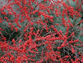 A deciduous holly in landscape, Ilex verticillata. Photo by Erica Glasener.