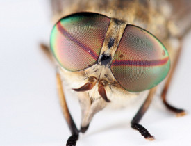Common Types of Flies in North America - Networx