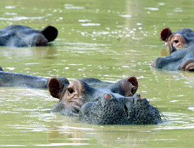 These are the hippos that swim freely on Pablo Escobar's property. Photo: www.ficg/Flickr Creative Commons