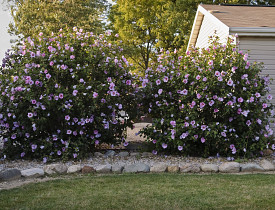 Rose Of Sharon Danjill Stock Xchng