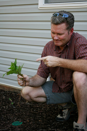 A man pulls a large weed from his garden. Photo by killerb10/istockphoto.com.