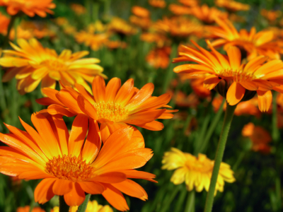 A Cheery Golden Addition To The Fall Garden With Medicinal Qualities Calendula Flowers Grow Up 4 Inches Across And Come In Variety Of Shades