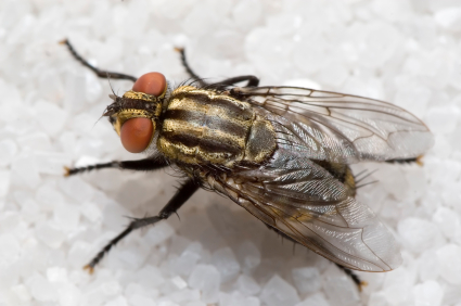 how to kill small flies in the house