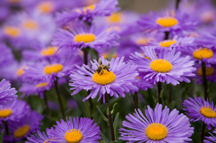 10 flowers to plant right now networx asters produce pretty daisy like flowers in a range of colors and depending on the species are frost tolerant in order to avoid diseases mightylinksfo