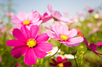 Cosmos Are Very Pretty Flowers For The Fall But Cannot Tolerate Frost They Drought Tolerant And Depending On Variety Will Grow From 1 To 3 Feet