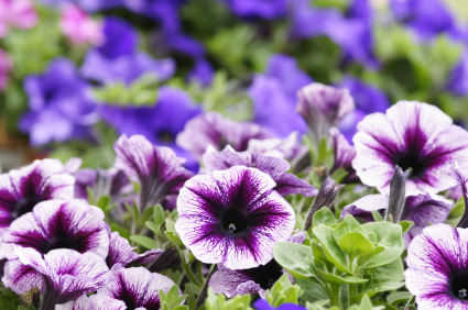 10 flowers to plant right now networx trumpet shaped and colorful petunias are a well liked flower the violet flowered petunia is frost tolerant but other types will last until the first mightylinksfo