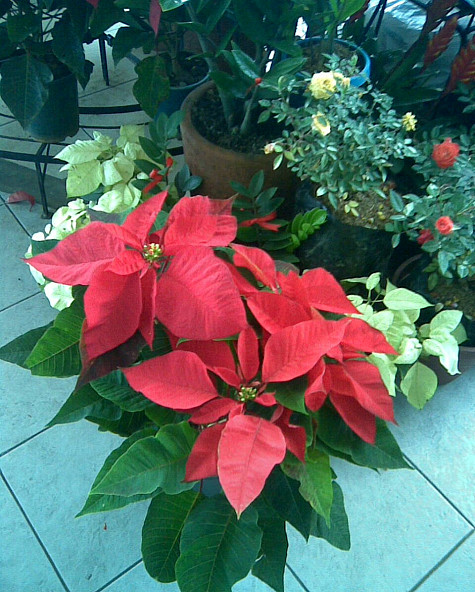 A poinsettia in bloom. Photo: jessieagudo7/morguefile.com
