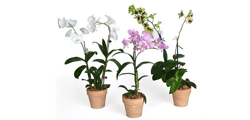 Indoor plants Orchids/courtesy Costa Farms