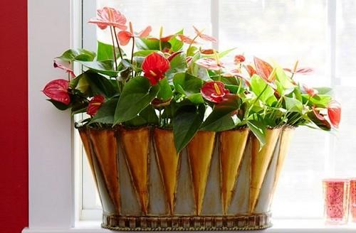 Indoor plants Anthurium/courtesy Costa Farms