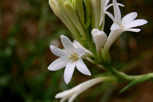 Photo of tuberose by jayeshp912/Flickr Creative Commons.