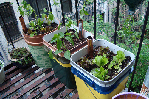 Self watering containers and photo by Mike Lieberman/UrbanOrganicGardener.com.