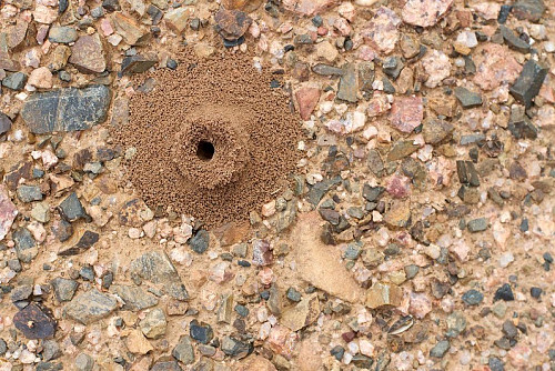 Ant hill  Alan Levine / flickr