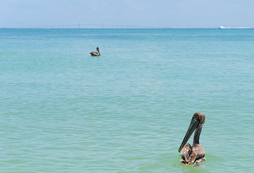 Cleaned pelicans released back into the wild in Pensacola. Photo by USFWS Headquarters.