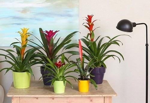 Indoor plants Bromeliads/courtesy Costa Farms
