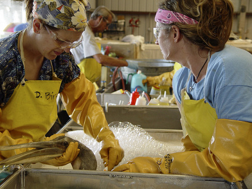 Bird rehabilitation workers clean a pelican after the 2010 Gulf oil spill.