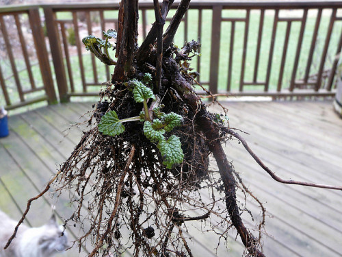 Lemon balm roots are very big and very strong. Photo by Tatiana2/Flickr.