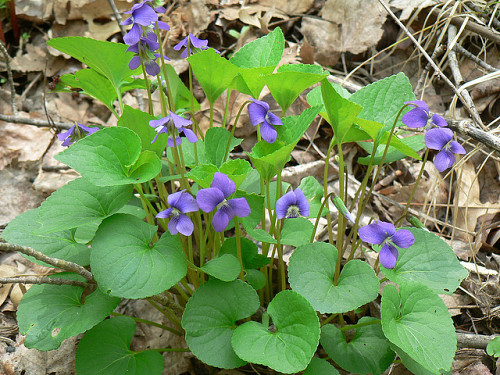 Photo of wild violets by The Montessorian Librarian/Flickr.