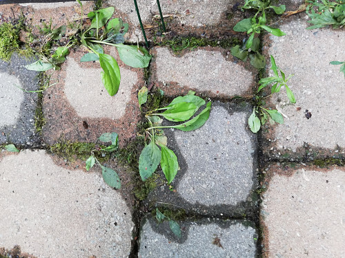 Weeds between pavers 1 HOUR AFTER/Laura Firszt