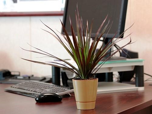 Indoor plants Dracaena Magenta/courtesy Costa Farms