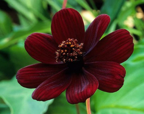 Photo Of Chocolate Cosmos By Pemberlolly Flickr Creative Commons