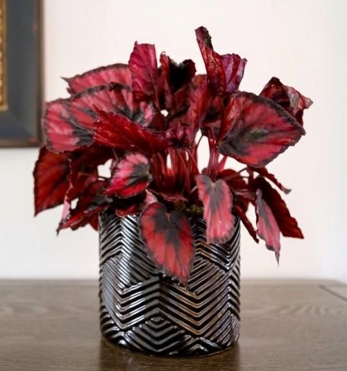 Indoor plants Rex Begonia/courtesy Costa Farms