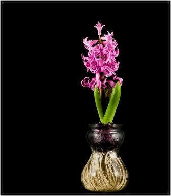 Forcing a hyacinth bulb  Paul VanDerWerf / flickr