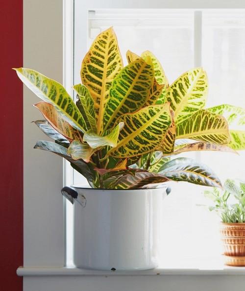 Indoor plants Croton/courtesy Cosrta Farms