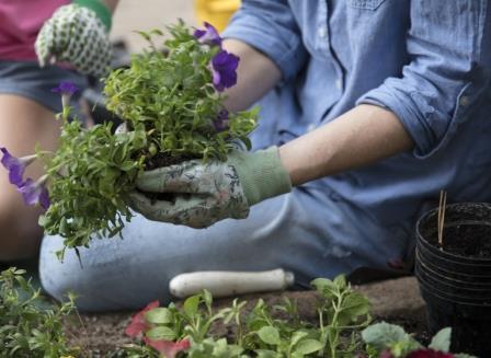 Planting petunias/courtesy of Scotts Miracle-Gro