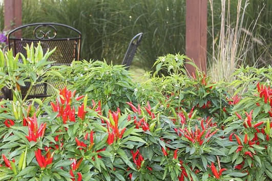 Hot peppers and photo by Old World Garden Farms via Hometalk.com.