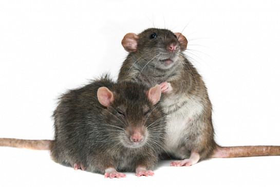 These rats are cute, but I wouldn't want to live with them. (Photo: MikeSPb/istockphoto.com)