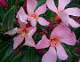 Oleander is pretty, but poisonous.  Photo: The Equinist/Flickr.