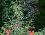 Vernonisa novaborensis & Hibiscus coccineus are often mistaken for weeds.  Photo by Erica Glasener.