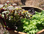 Lettuce grows in my wine barrel planter. Wine barrels and wine crates make great containers for container gardens. (Photo by the author, s.e. smith.)