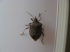how to get rid of the stink bugs in your home networx. Black Bedroom Furniture Sets. Home Design Ideas