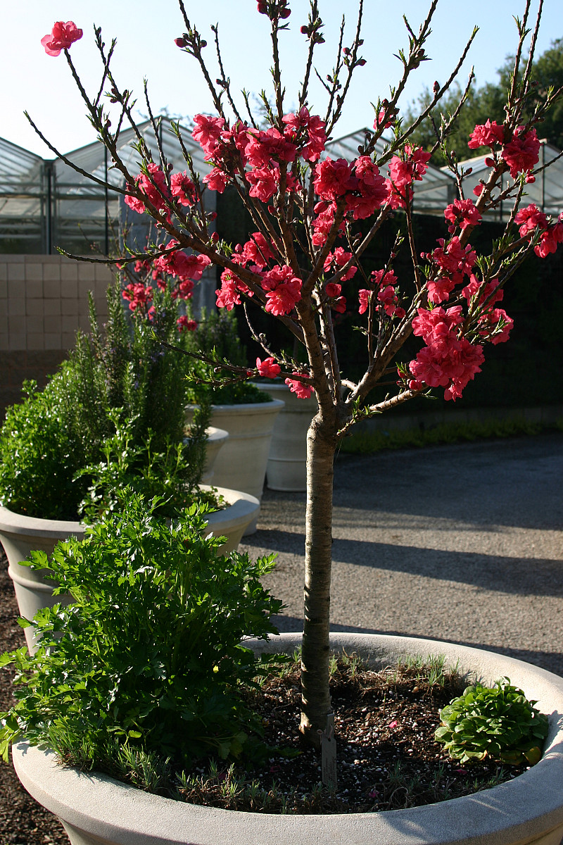 Growing Magnolia Trees In Pots Garden Design Ideas