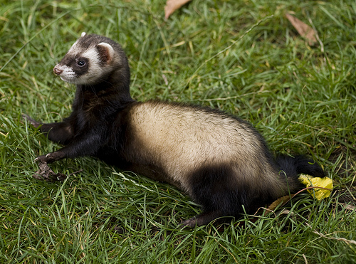 Ferret Odors 101 A Guide For New Ferret Owners Networx