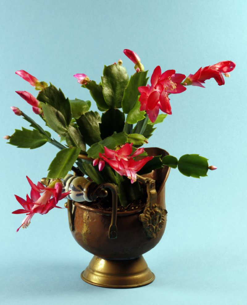 Christmas Cactus Bloom.10 Facts About Christmas Cacti Networx