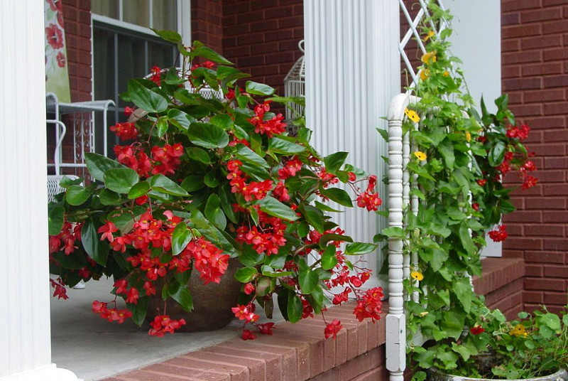 Scarlet Begonias Networx