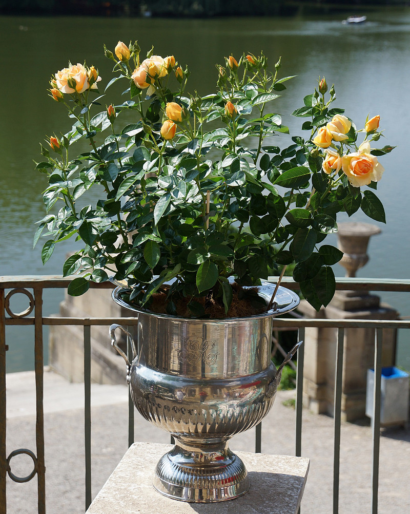 Turn Your Balcony Porch Into A Container Rose Garden Networx