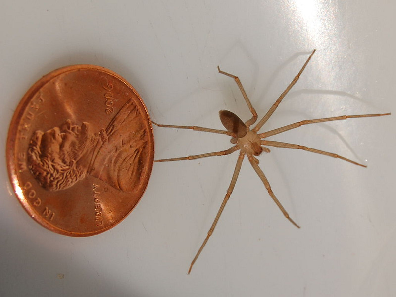 Brown Recluse Spiders Networx