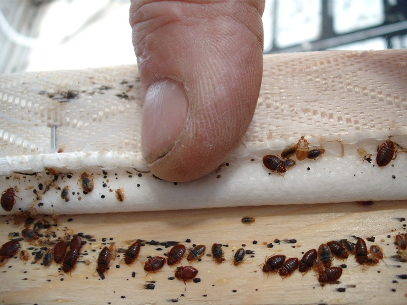 100 Effective Bed Bug Treatment Found In Ma Networx