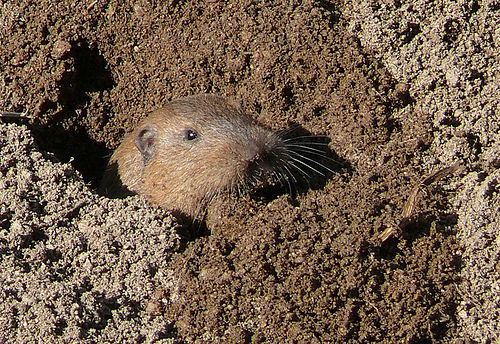 Gophers in my garden... now what? - Networx